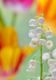 Lily of the valley convallaria majalis Royalty Free Stock Photo