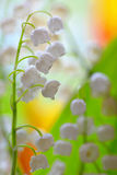 Lily of the valley convallaria majalis Royalty Free Stock Images