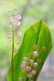 Lily of the valley convallaria majalis Stock Photography
