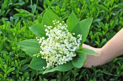 Lily of the valley (convallaria majalis) in hand Stock Photography