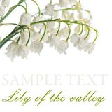 Lily of the Valley - Convallaria Majalis Stock Image