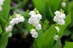 Lily of the valley (Convallaria majalis) royalty free stock photography