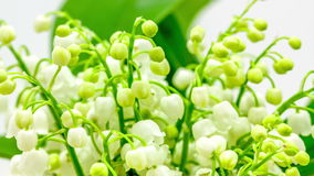 Lily of the valley (convallaria majalis) timelapse stock video footage