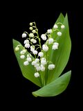 Lily of the valley - convallaria majalis Royalty Free Stock Photo
