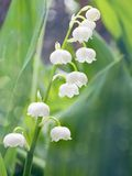 Lily of the valley - convallaria majalis Royalty Free Stock Photography