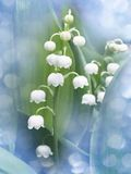 Lily of the valley - convallaria majalis Royalty Free Stock Photos