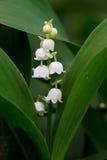 Lily of the valley (Convallaria majalis) Royalty Free Stock Photo