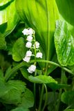 Lily of the valley Convallaria majalis white flowers in garden Stock Images