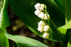 Lily of the valley Convallaria majalis white flowers in garden Royalty Free Stock Image