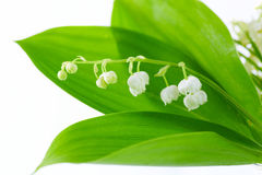 Lily of valley d Royalty Free Stock Images