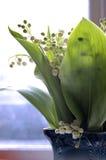 Lily-of-the-valley da manhã Imagem de Stock