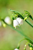 Lily-of-the-valley de florescência (close-up). Imagem de Stock Royalty Free
