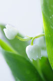 Lily of the valley. DOF Stock Photos