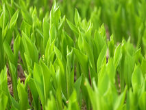 Lily of the valley field Stock Image