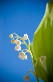 Lily of the valley flower Royalty Free Stock Photography