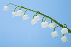 Lily of the Valley flower Royalty Free Stock Photos