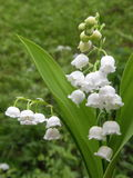 Lily of the Valley  flower Stock Images