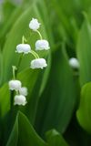 Lily of the Valley. Flower close up Royalty Free Stock Image