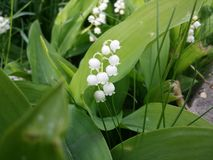 Lily of the valley flower. White little flower in the garden Stock Photography