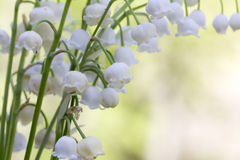 Lily of the valley. Flower. Wood. Stock Image
