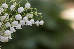 Lily of the valley. Flower. Wood. Stock Photography