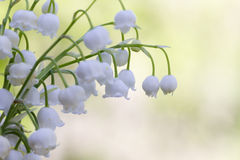 Lily of the valley. Flower. Wood. Royalty Free Stock Photos