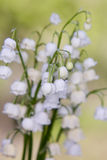 Lily of the valley. Flower. Wood. Royalty Free Stock Images