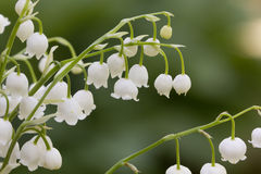 Lily of the valley. Flower. Wood. Stock Photos