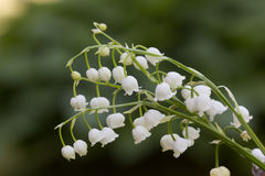 Lily of the valley. Flower. Wood. Royalty Free Stock Photography