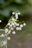 Lily of the valley. Flower. Wood. Stock Photo