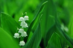 Lily of the valley flowers on a background of green leaves. royalty free stock images