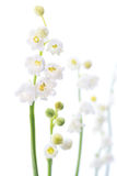 Lily of the valley flowers Royalty Free Stock Image