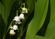Lily of the Valley Flowers and Foliage Royalty Free Stock Images