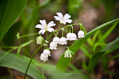 lily of the valley flowers in forest. Royalty Free Stock Images