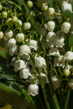 Lily of the valley flowers  on green background. Convallaria maj Stock Photo