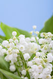 Lily-of-the-valley flowers in green foliage on a blue background Stock Images