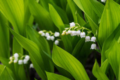 Lily of the valley flowers in green leaves. Stock Image