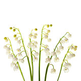 Lily of the valley flowers isolated Stock Image
