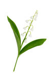 Lily of the valley flowers Royalty Free Stock Images