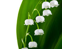 Lily-of-the-valley. Flowers isolated on white background (Convallaria Majalis royalty free stock photos