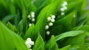 Lily of the valley. Flowers lily of the valley, rack focus - from background to foreground stock footage
