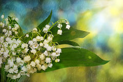 Lily-of-the-Valley flowers . Spring flowers in the early morning in the rain. Royalty Free Stock Photo
