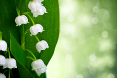 Lily-of-the-valley. Lily of the valley flowers with water drops on green background. Convallaria majalis Royalty Free Stock Images