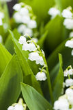 Lily of the valley flowers with water drops on green background. Royalty Free Stock Image