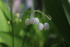 Lily of the valley. In the forest Stock Photos