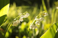 Lily of the valley in the forest on a sunnny spring morning. Close-up of fresh Lily of the valley in the forest backlit by the morning sun on a spring day royalty free stock images