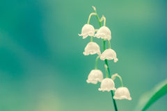 Lily of the valley fragrance Stock Photo