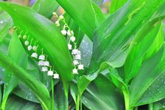 Lily of the valley in the garden royalty free stock photos