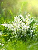 Lily of the valley in the garden Royalty Free Stock Photo