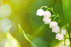 Lily of the valley on green background Stock Photography